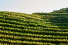 Rice tarasował pola Wengjia longji Longsheng Hunan Chiny Zdjęcia Stock