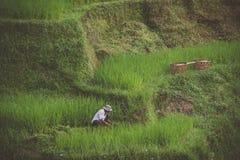 Rice tarasuje w Ubud, Bali, Indonezja Fotografia Stock