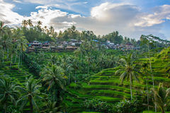 Rice tarasuje w Ubud, Bali, Indonezja Obrazy Stock