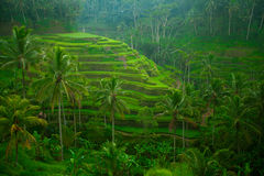 Rice tarrace on Bali, Indonesia. Royalty Free Stock Image