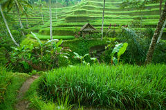 Rice tarrace in mountains on Bali Royalty Free Stock Image