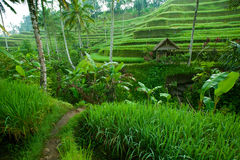 Rice tarrace in mountains on Bali Stock Image