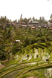 Rice terace in Bali, Indonesia. Perfect view on the rice fields royalty free stock image