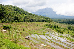Rice terrace. Trees and voulcan among big white clouds on the background Royalty Free Stock Photos