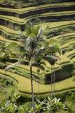 Rice terrace Royalty Free Stock Photos
