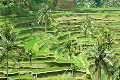 Rice Terrace. S in Bali, Indonesia Stock Photo