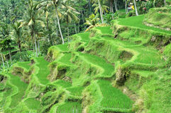 Rice Terrace. S in Bali, Indonesia Stock Image