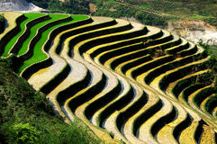 Rice terrace. The culture of rice, on terrace, in Sapa, Vietnam Royalty Free Stock Photography