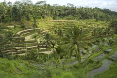 Rice terrace. Bali Royalty Free Stock Images