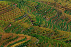 Rice  terrace. A multicolored rice terrace in china mountaines Stock Image