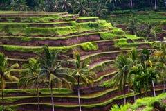 Rice terrace Royalty Free Stock Photo