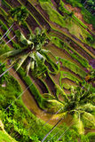 Rice terrace. Photographed on Bali. Indonesia Royalty Free Stock Image
