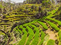 Rice Terrace Aerial Shot. Image of beautiful terrace rice field.  stock photography