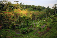 Rice Terrace Royalty Free Stock Photography