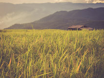 Rice terrace in Asia Royalty Free Stock Photo