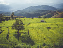 Rice terrace in Asia Royalty Free Stock Images