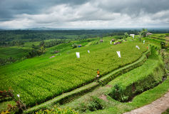Rice terrace in Bali Stock Images