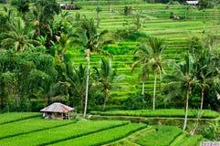 Rice terrace in Bali Stock Image