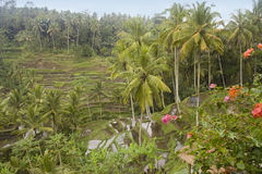 Rice terrace in Bali Royalty Free Stock Image