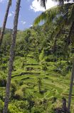 Rice terrace in Bali. Amazing Rice terraces in Bali Indonesia with a palm trees stock image