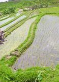 Rice terrace ,Bali Stock Images