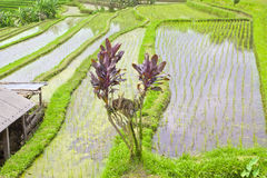 Rice terrace ,Bali Royalty Free Stock Photos