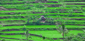 Rice terrace in Bali Royalty Free Stock Photos