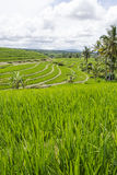 Rice terrace in Bali. Green rice terraces in Bali, Indonesia Royalty Free Stock Images