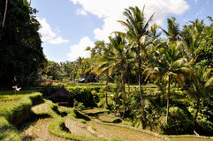 Rice Terrace in Bali, Indonesia. Local plantation of the layered rice terrace in Bali Island, Indonesia Royalty Free Stock Photography