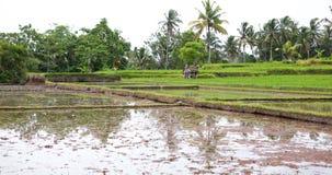 Rice terrace Bali Royalty Free Stock Photo