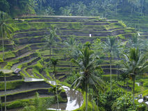 Rice Terrace in Bali, Indonesia royalty free stock photos