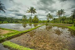 Rice terrace Bali Stock Photo
