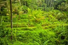 Rice terrace Bali Royalty Free Stock Image