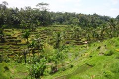 Rice Terrace at Bali, Indonesia Royalty Free Stock Images