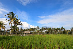Rice terrace on Bali island Royalty Free Stock Photography