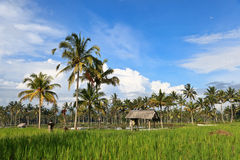 Rice terrace on Bali island Royalty Free Stock Image