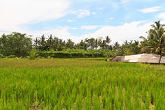 Rice terrace on Bali island Royalty Free Stock Images