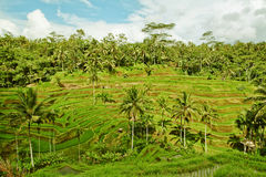 Rice terrace in Bali island (Green fields) Stock Photo