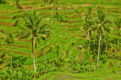 Rice terrace in Bali island (Green fields) Stock Images