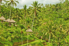 Rice terrace in Bali island (Green fields) royalty free stock photos