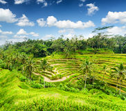 Rice terrace of Bali Island, Indonesia Stock Images