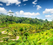 Rice terrace of Bali Island, Indonesia Royalty Free Stock Image