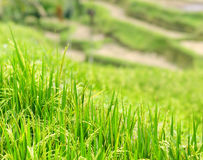 Rice terrace of Bali Island, Indonesia Royalty Free Stock Photography