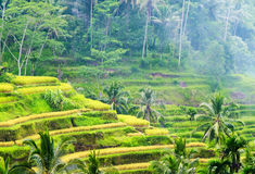 Rice terrace of Bali Island, Indonesia Stock Photo