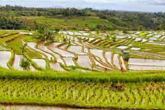 Rice terrace Bali Jatiluwih Royalty Free Stock Images