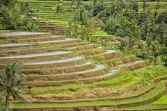 Rice terrace Bali Jatiluwih Royalty Free Stock Photo