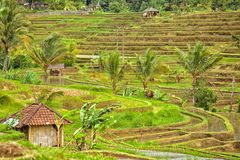 Rice terrace Bali Jatiluwih Stock Photography