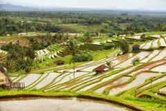 Rice terrace Bali Jatiluwih Royalty Free Stock Image