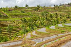 Rice terrace Bali Jatiluwih Royalty Free Stock Photos