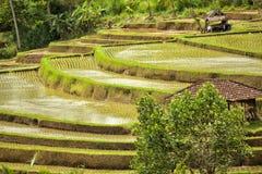 Rice terrace Bali Jatiluwih Stock Image